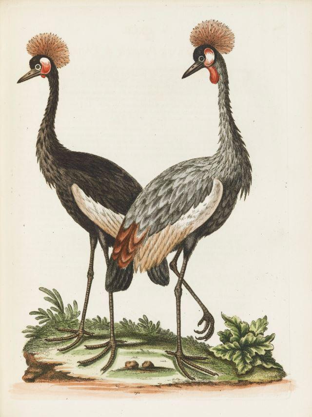 Edwards. A Natural History..., 1743-1764